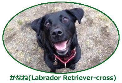 かなね(Labrador Retriever-cross)
