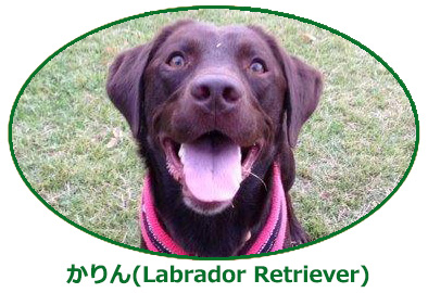 かりん(Labrador Retriever)